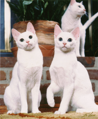 Russian White Black And Tabby White Cat Breeds Purebred Cats