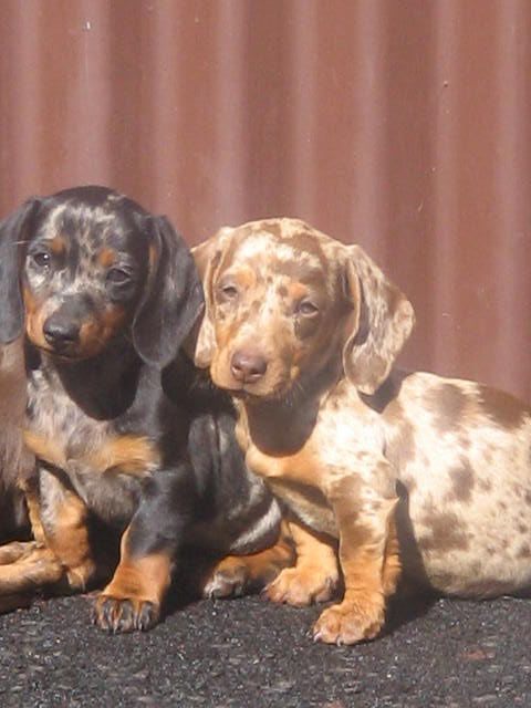 What A Pair Chocolate And Silver Dapples Daschund Puppies