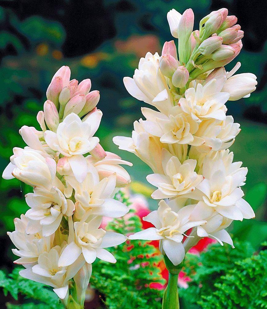 Tuberose Rajanigandha Polianthes Tuberosa Bulbs Double Flower 6