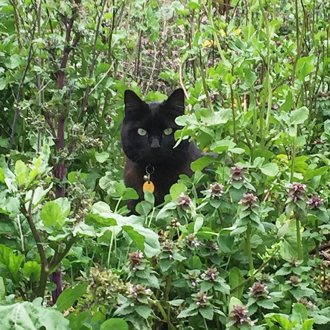 Beautiful Black Cat Hiding And Stalking The Wild Garden Gardening Cats Catstagram Catlovers Pretty Cats Black Cat Baby Cats
