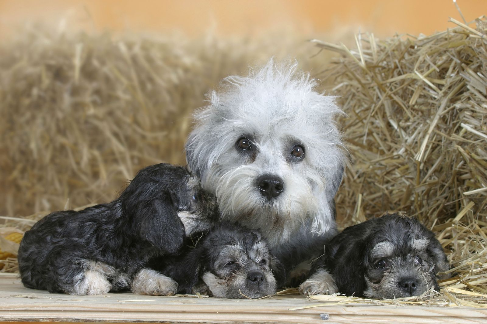 30 Uk Native Dog Breeds That Are At Risk Of Going Extinct Dog Breeds Dandie Dinmont Terrier Dogs