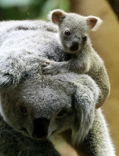 Koala Jungtier Im Zoo Prasentiert Jungtiere Susseste Haustiere