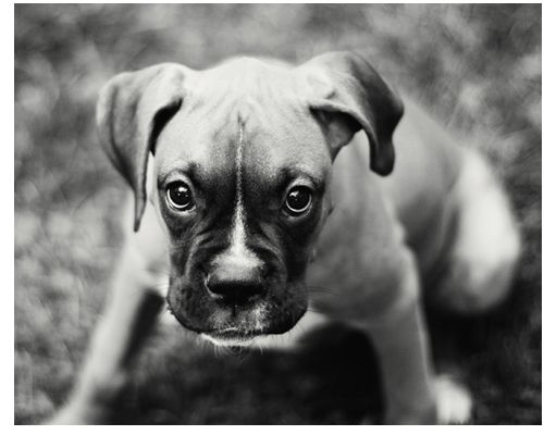 Pin By Faux Pas 2 Fab By Jaime J On Cute Fuzzy Boxer Dogs