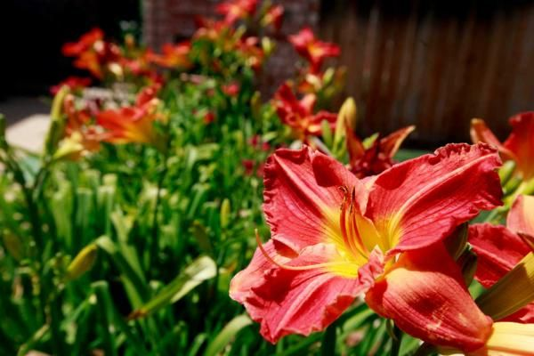 Daylilies grow in Dr. George and Pat Jury's front yard at 3807 75th Place Tuesday. Join the Lubbock Municipal Arboretum's Garden Tour staring Saturday.
