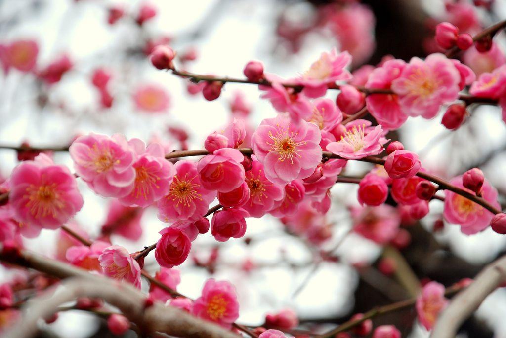 Japanese Plum Ume Blossom Spring Flowering Trees Cherry Blossom Girl Japanese Plum Tree