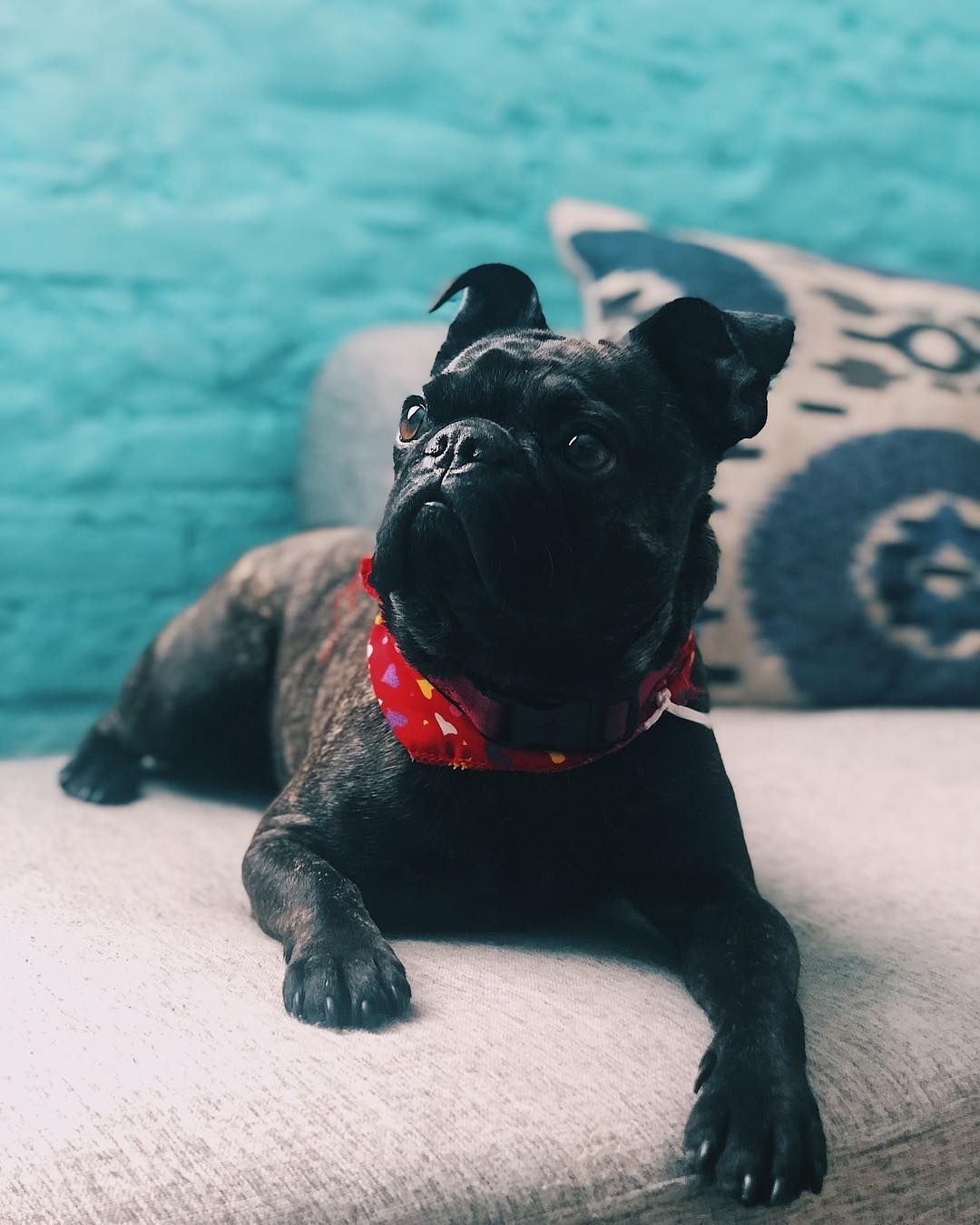 All about the french bulldog pug mix frenchie pug how