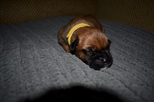 Litter Of 9 Bullmastiff Puppies For Sale In Tuscaloosa Al Adn