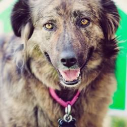 Patoo Is An Adoptable Australian Shepherd Dog In San Jose Ca