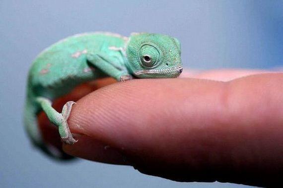 Baby Chameleon Evan S Blog Baby Chameleon Small Lizards Chameleon