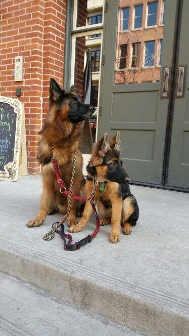 Long hair german shepherd. Gibbs and Mia. Puppy