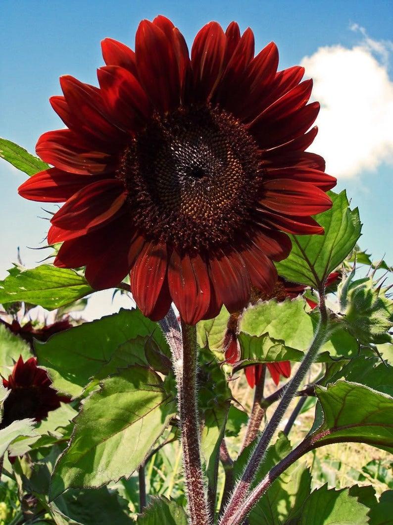 25 Red Velvet Queen Sunflower Helianthus Annuus Flower Seeds Etsy Red Sunflowers Planting Sunflower Seeds Flower Seeds