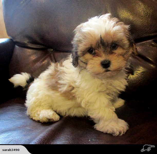 Shitzu Bichon Pups Bichon Cute Animals Pup