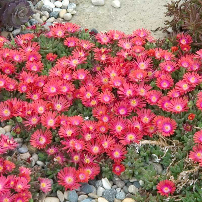Delosperma Jewel Of Desert Ruby Ground Cover Flowers Ground Cover Perennial Ground Cover
