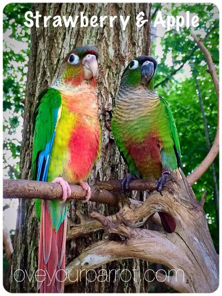 Yellow-Sided & Green-Cheeked Conure Parrots *Female YS *Male GRN
