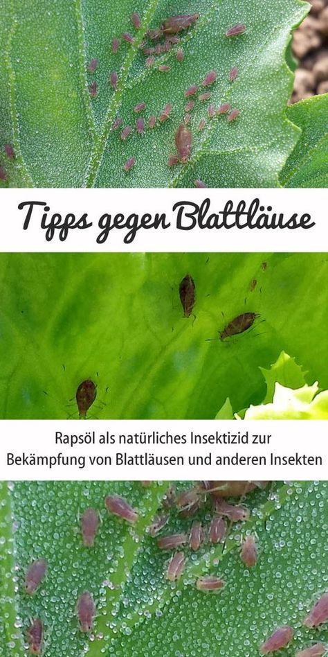 Raps l gegen blattl use nat rliches insektizid f r for Balkonpflanzen gegen fliegen
