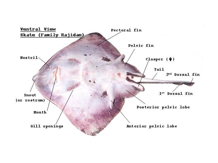 stingray teeth to learn more about the external anatomy Skate Fish Information Stingray Diagram