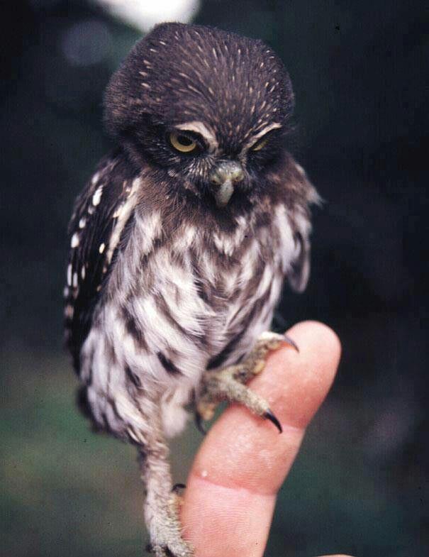 BABy owl so tiny <3