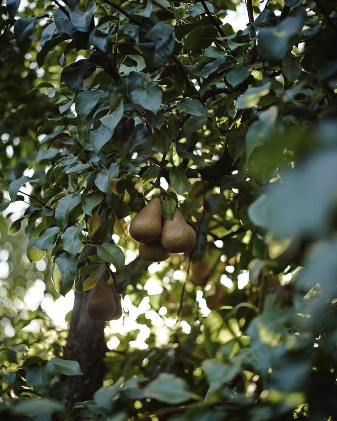 via @cal_pear: Did you know that some of the trees from which California pears are harvested can be 100 years old (or older!)?
