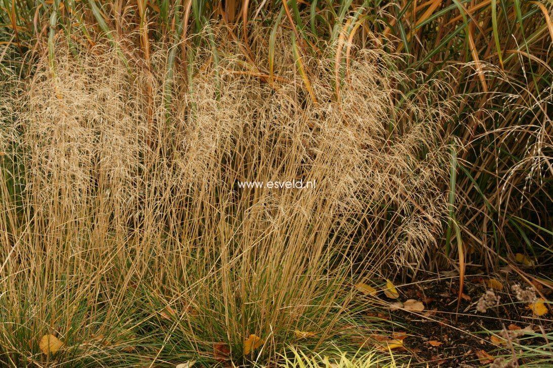 Deschampsia cespitosa bronzeschleier
