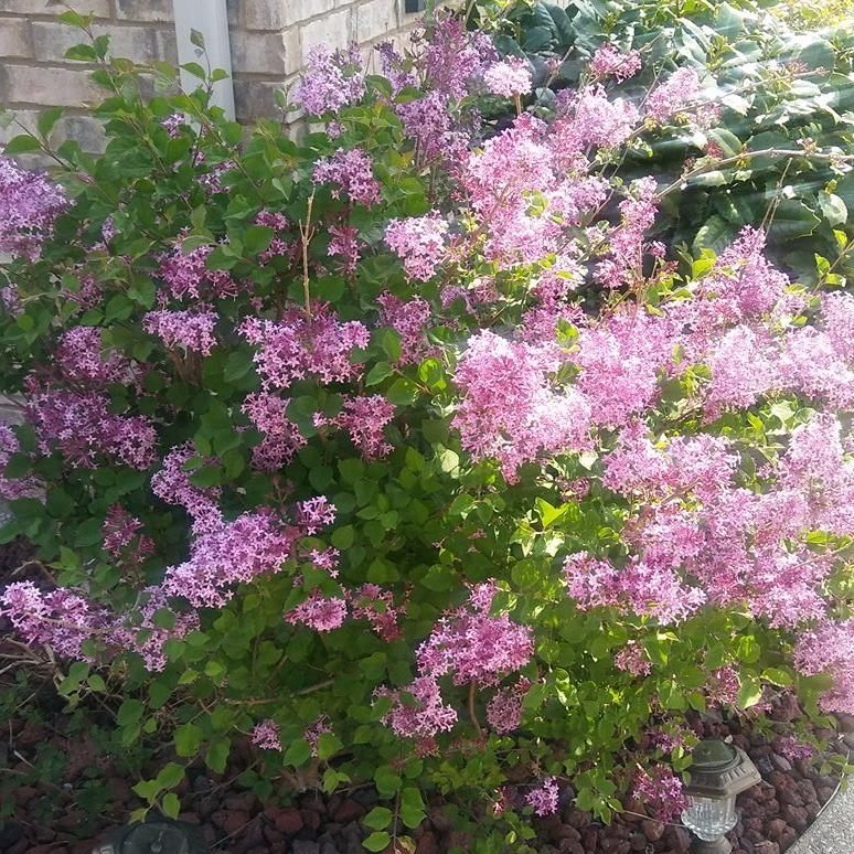 Meet The Bloomerang A Lilac That Blossoms Twice Each Season Bloomerang Lilac Flowering Shrubs Beautiful Gardens