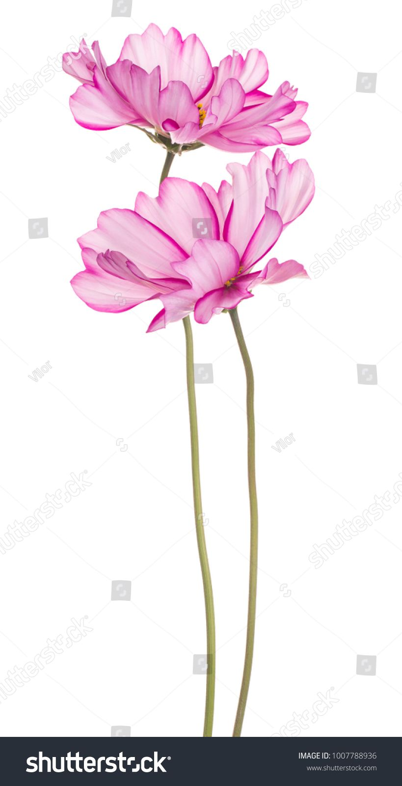 Studio Shot Of Magenta Colored Cosmos Flowers Isolated On White Background Large Depth Of Field Dof Macro Hoa đồ Họa Hinh