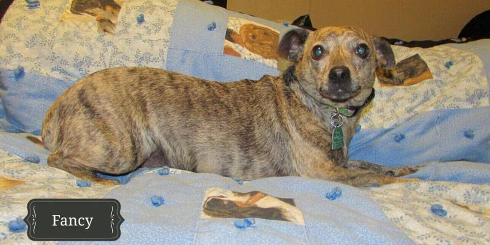 Fancy Is A 3 Year Old Female Chiweenie Looking For Her Forever