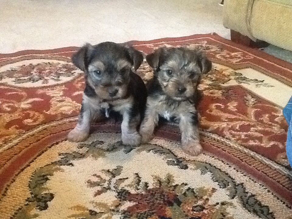 Ckc Yorkies For Sale 6 Weeks Old 350 Males 400 Females More