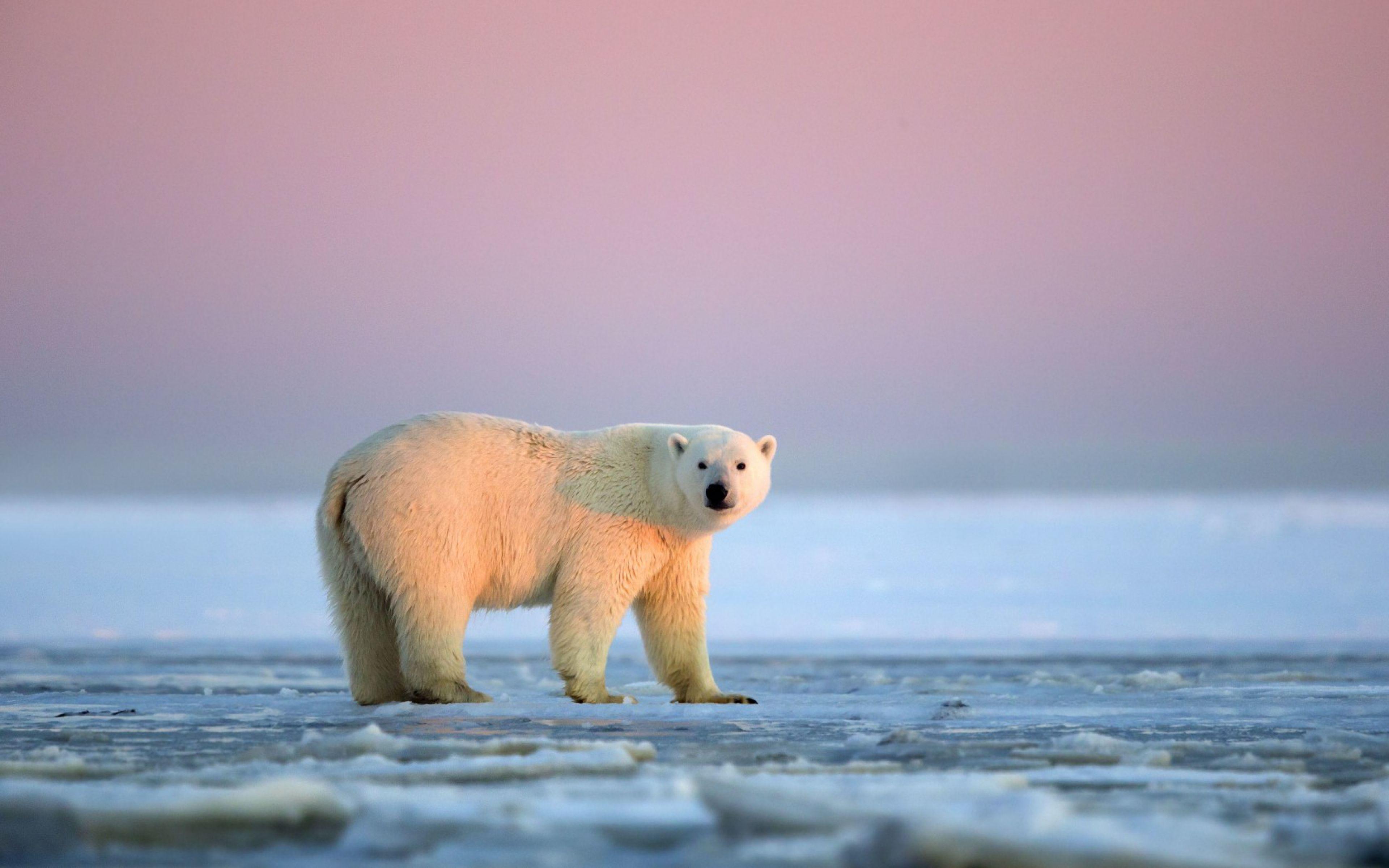 Polar Bear Snow Antarctica Ice Sky White Hd Background Wallpaper Wallpapersbyte Polar Bear Animal Wallpaper Bear Animal polar bears on ice wallpapers hd