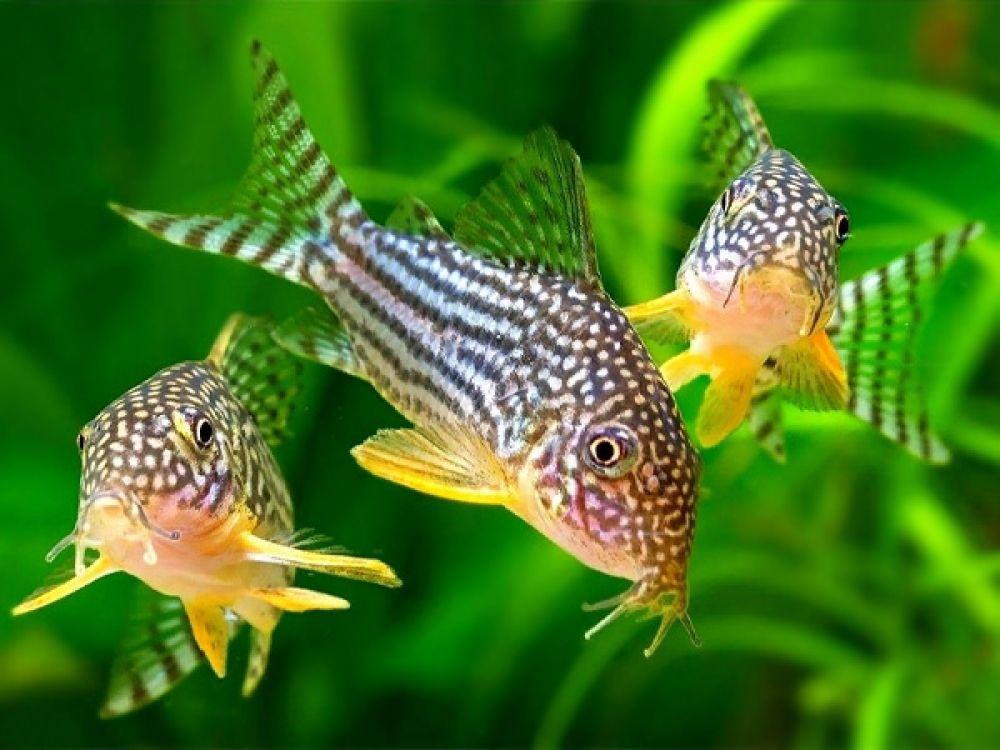 Sterba S Cory Order From Https Fishplace Eu Product Sterbas Cory Price Starts From 2 15 Gbp C In 2020 Saltwater Aquarium Fish Tropical Fish Aquarium Aquarium Fish