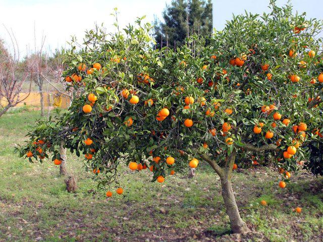 Arboles de frutas buscar con google proyectos que for Arboles frutales