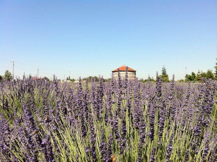 Pageo Lavender Farm, Turlock Ca | California | Pinterest