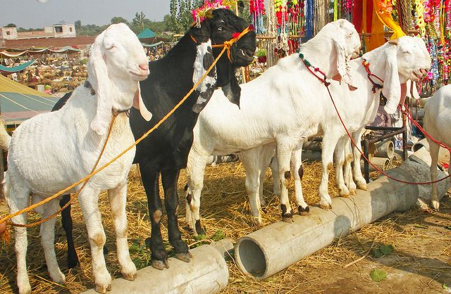 Beetal Goats in Pakistan | Goats | Goats, Nubian goat, Sheep