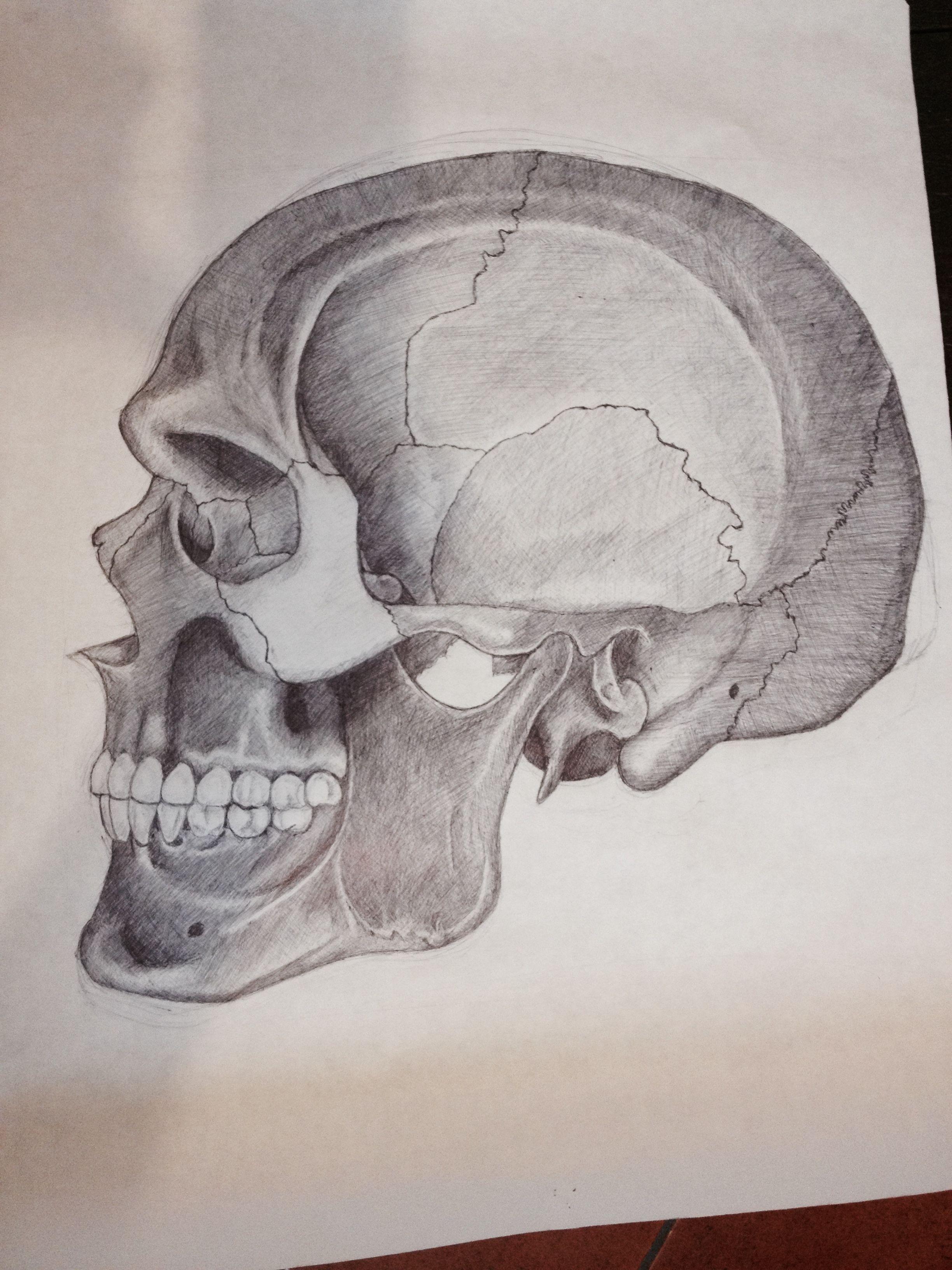 Skull Anatomy from side in pen