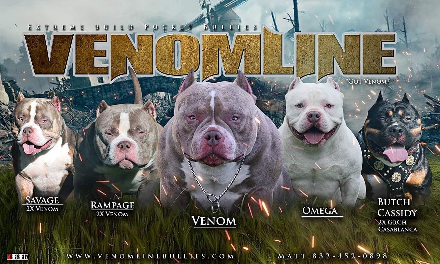 Champagne Lilac Tri Color Pocket American Bully Puppies For