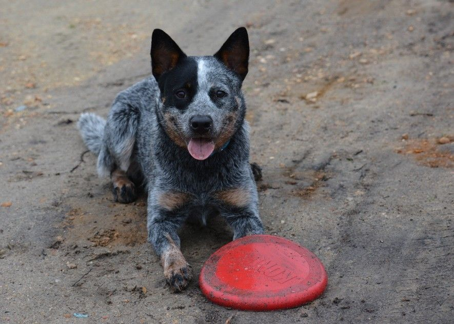 Pin By Elliott On Dogs Austrailian Cattle Dog Australian Cattle Dog Puppy Cattle Dogs Rule