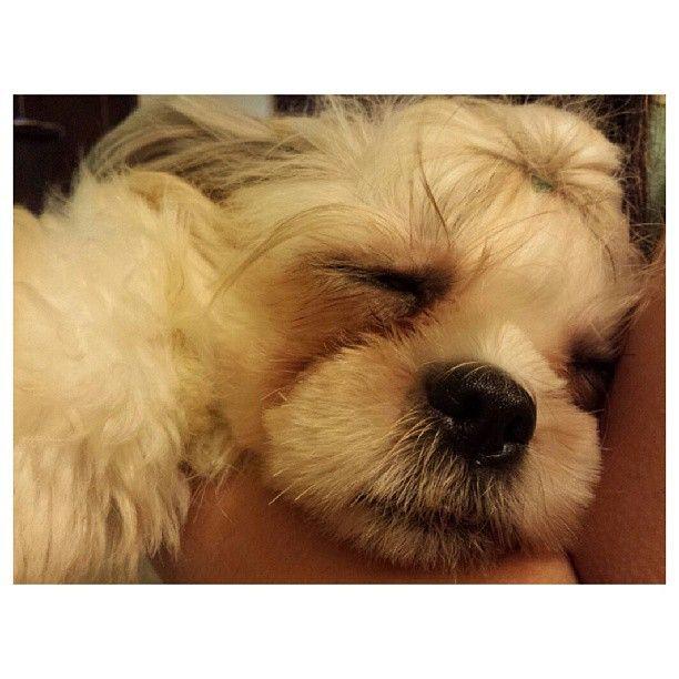Zzz... Luna shihtzu dog family philippines シーズー 犬