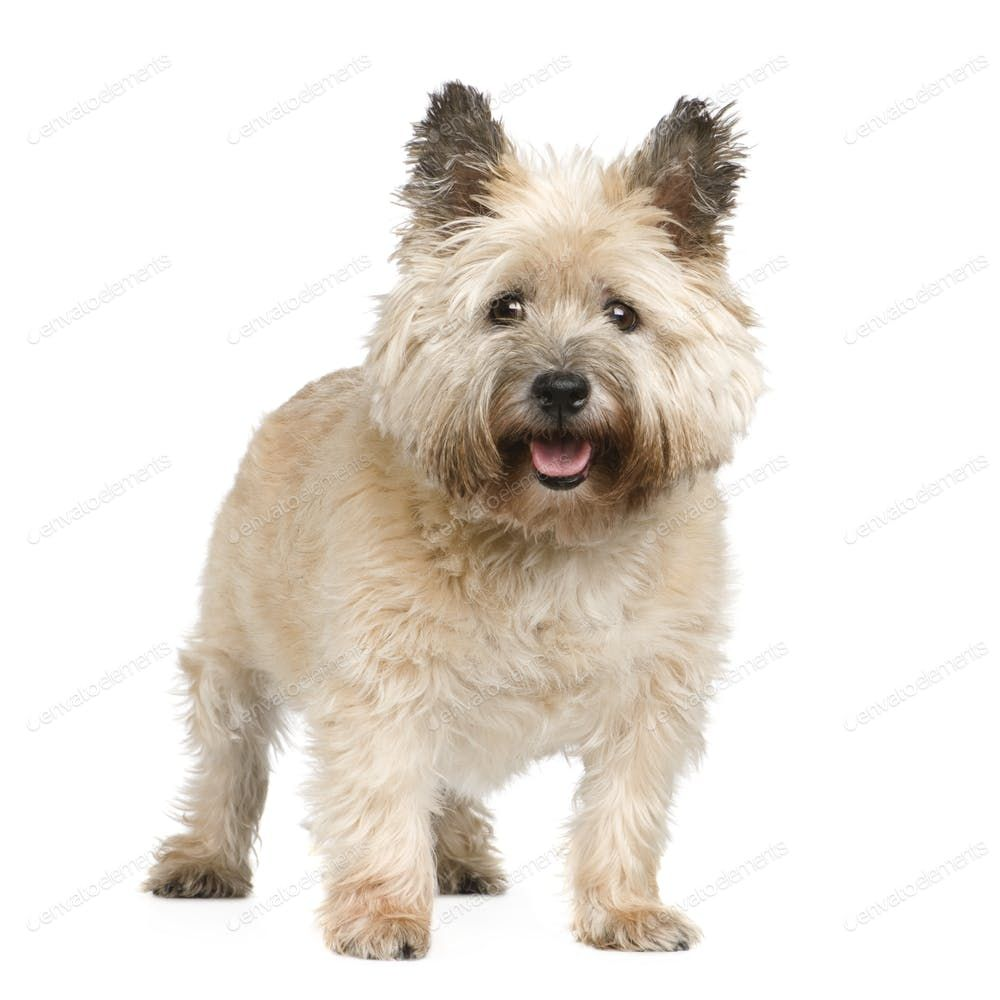 Cairn Terrier (12 years) By Lifeonwhite's photos Ad ,