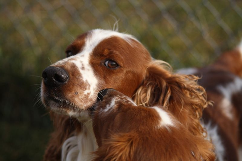 Thank You For Visiting The Website Of Jmh Welsh Springer Spaniels Where We Produce Exceptional Welsh Springer Welsh Springer Spaniel Springer Spaniel Spaniel