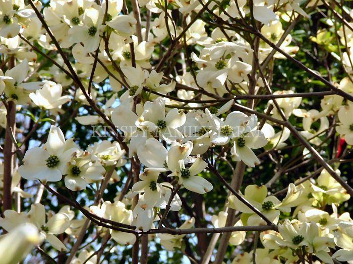 Florida dogwood tree cornus florida a us native which does well in florida dogwood tree cornus florida a us native which does well in part shade white mightylinksfo
