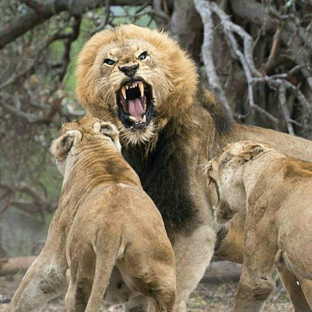 #motivation #lion #leo #power #strong #kill #stregth # ...