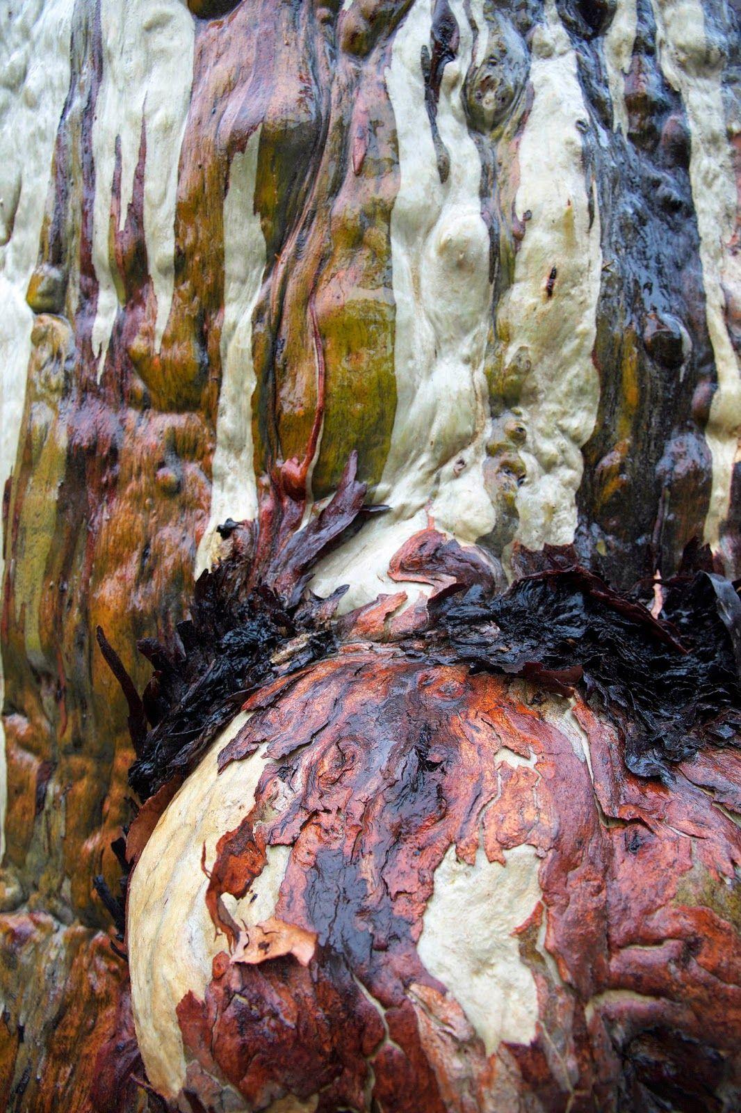 Amazing bark of a Tasmanian Snow Gum, Eucalyptus coccifera