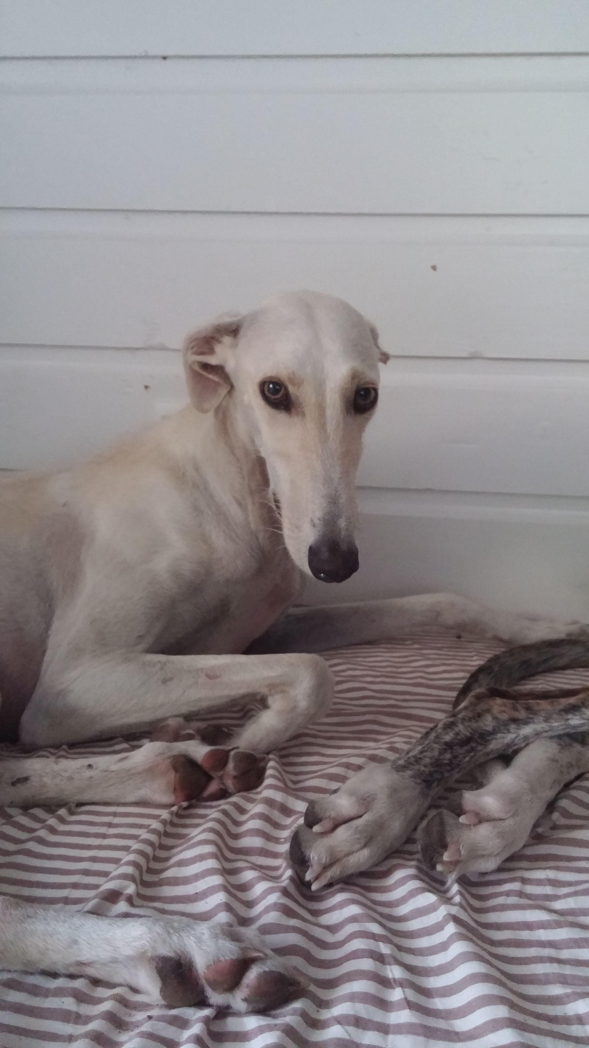 My Vulnerable Rescued Galgo Windhunde Windhund Hunde