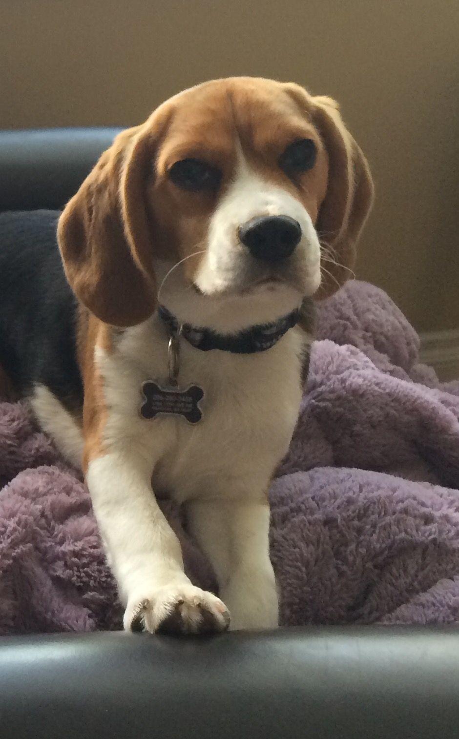 Snow City Dogtv Exposure Beagle Breeds Beagle Beagle Puppy