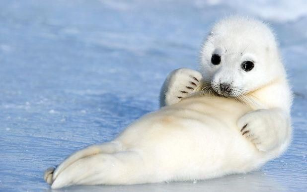 Baby harp seal. | animales | Animales adorables, Animales ...
