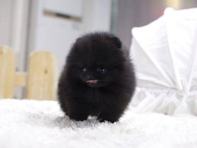 All Puppies For Sale Posh Pocket Pups Teacup