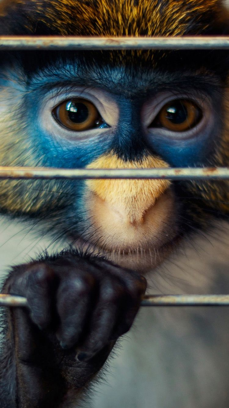 Wallpaper iphone monkey - Cute Monkey Wallpaper For Iphone 6 Hd Animal Wallpaper For