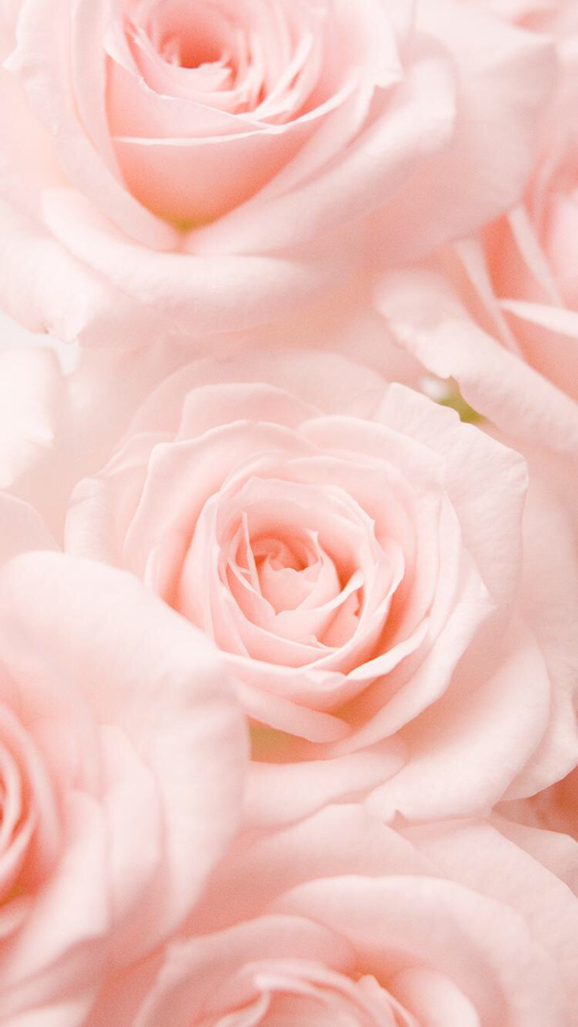 Pink Roses Flower Wallpaper For Iphone And Android All Things