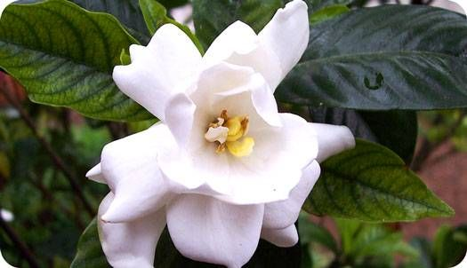 Flower Meanings Gardenia Flower Meanings Flowers Flowers For You