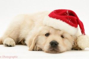 Golden Retriever Christmas Backgrounds High Resolution