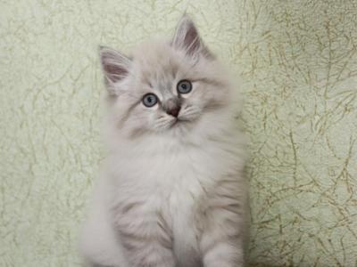 Austin Iz Snezhnogo Korolevstva Male Siberian Kitten For